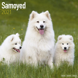 Samoyed 2021 Wall Calendar